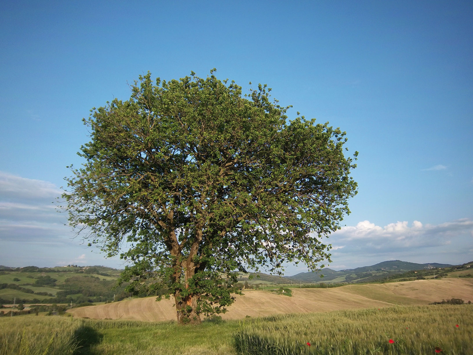 tree in a field with hills Le Selvole Farmhouse