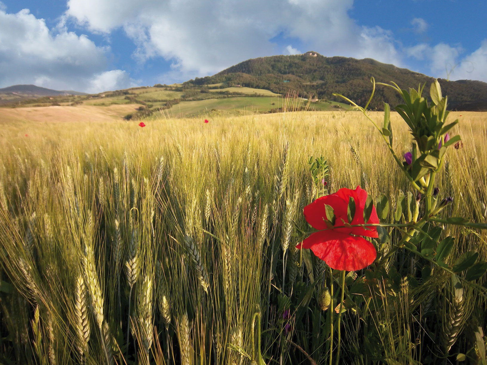 field of wheat with a red flower Le Selvole Farmhouse