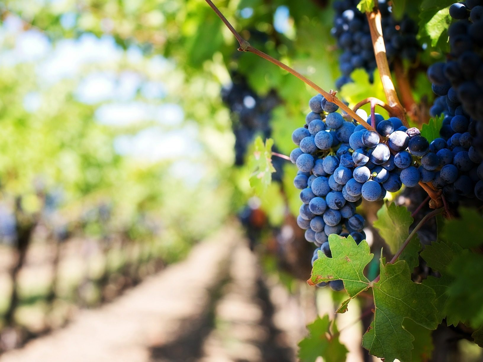 grapes in a vineyard Le Selvole Farmhouse